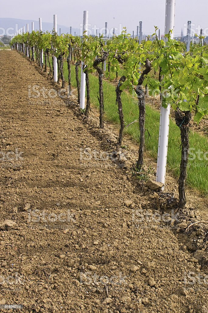 wineyards in spring stock photo