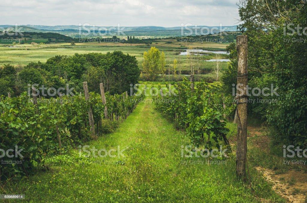Wineyards in Tihany peninsula at lake Balaton, Hungary stock photo