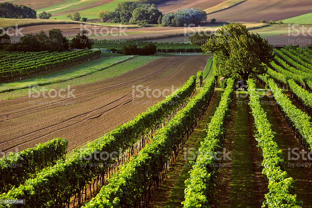 Wineyards stock photo