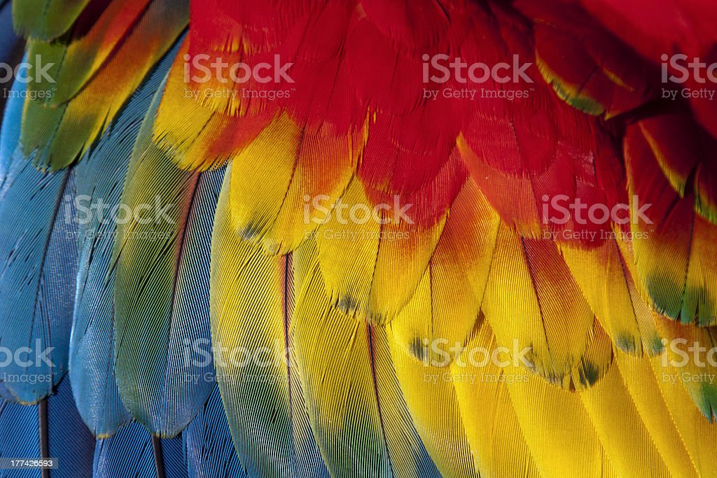Wing feathers of a scarlet macaw (ara macao) stock photo