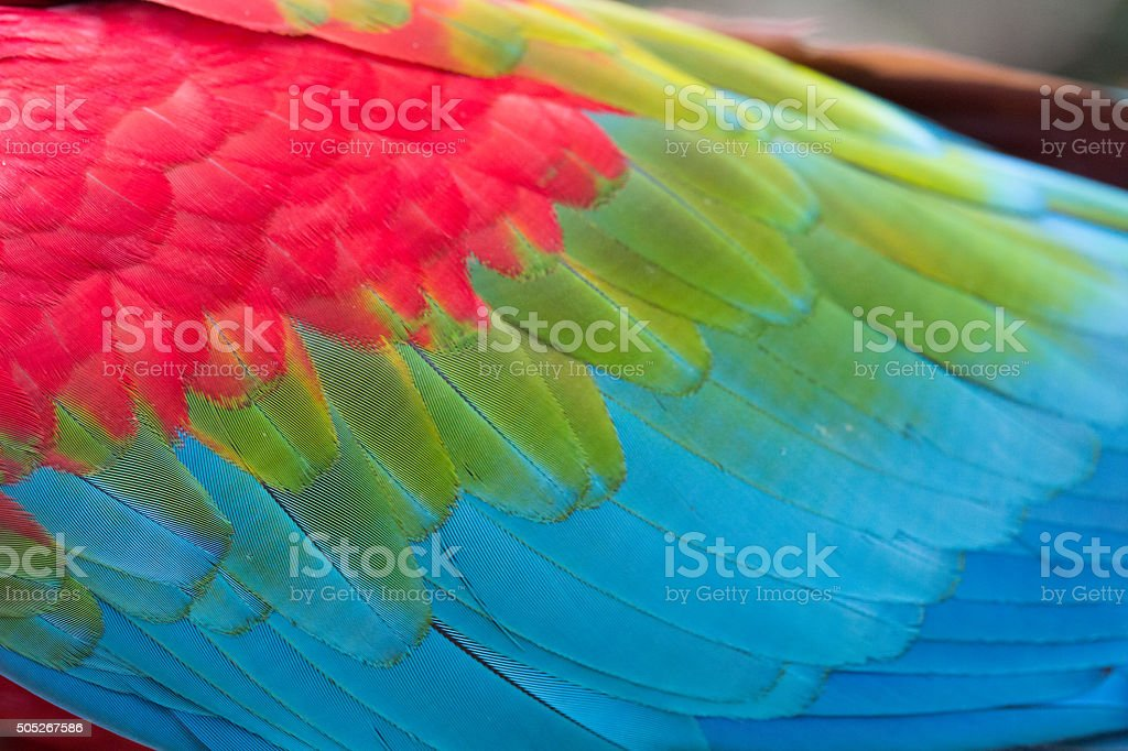 Wing of Red and blue Ara stock photo