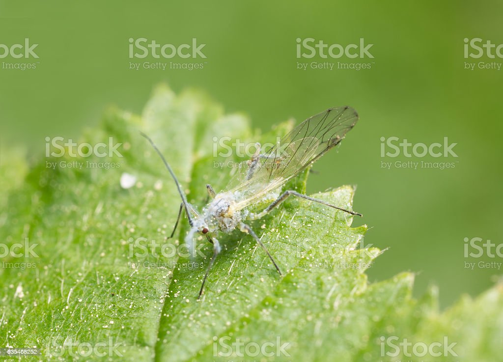 Winged aphid on leaf stock photo