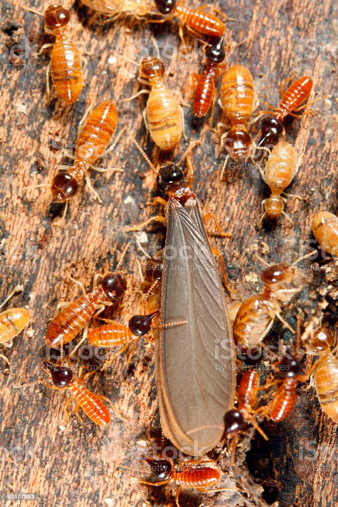 Winged reproductive male termite i royalty-free stock photo