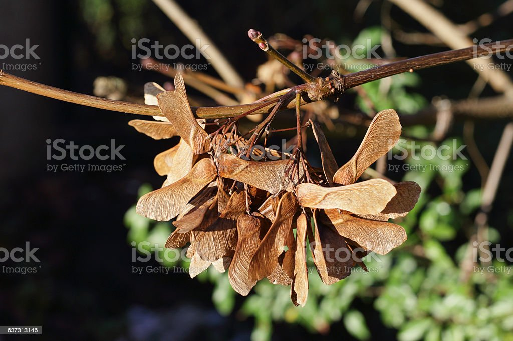 Cluster of sycamore winged seeds on the tree stock photo
