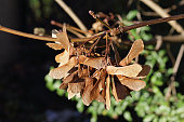 Cluster of sycamore winged seeds on the tree