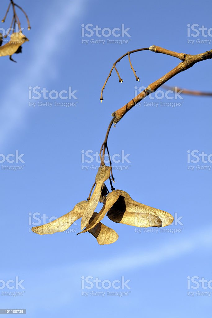 Winged seeds of field maple Acer campestre stock photo