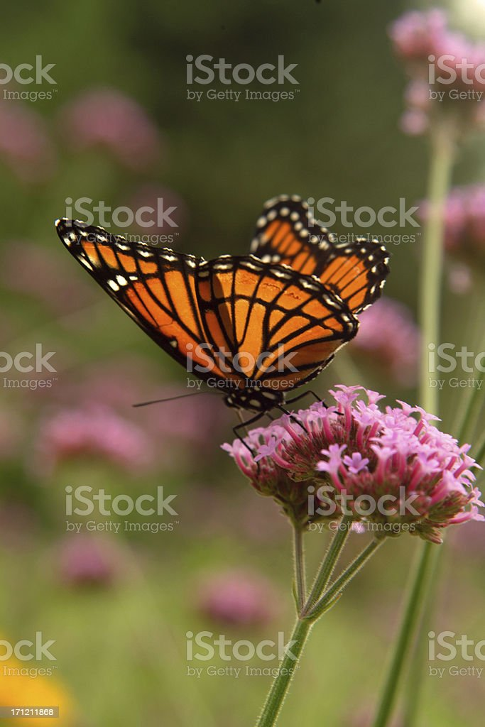 Wings of Light royalty-free stock photo