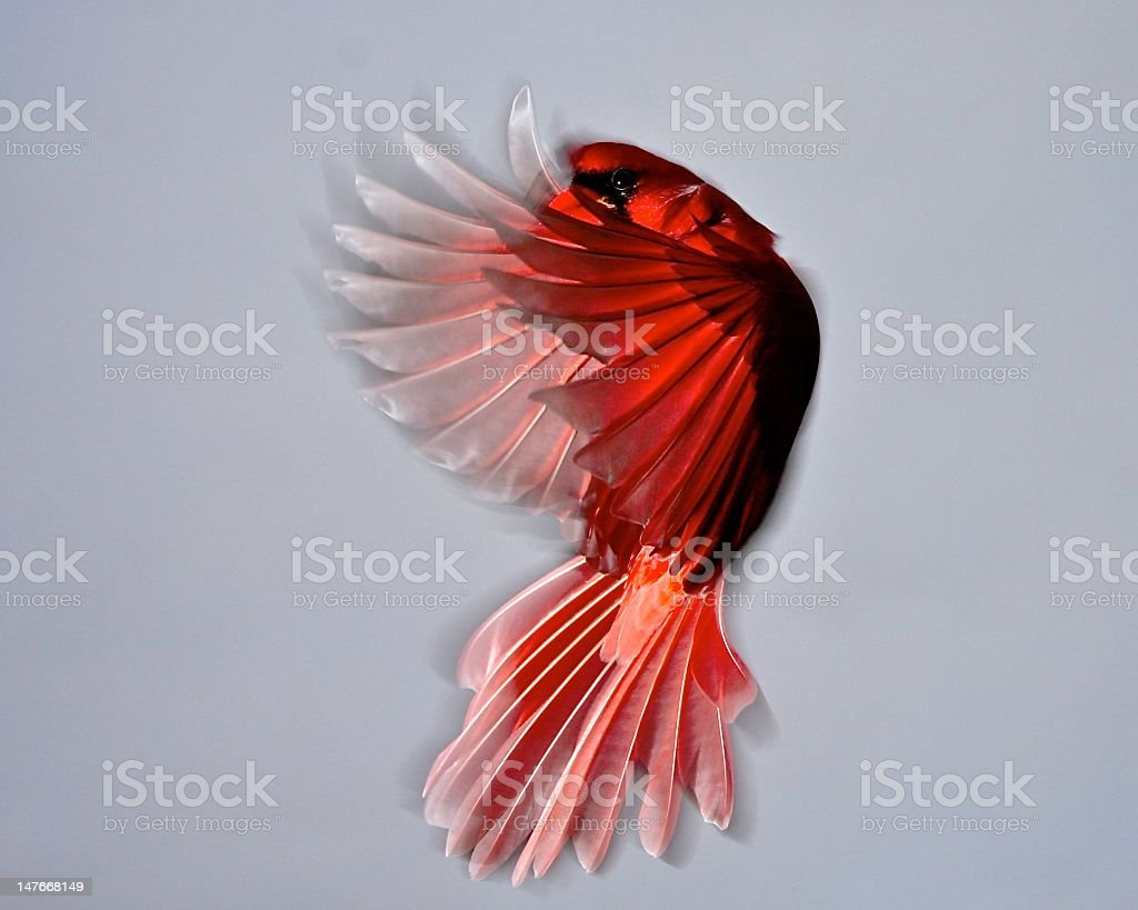 Wings of Red stock photo