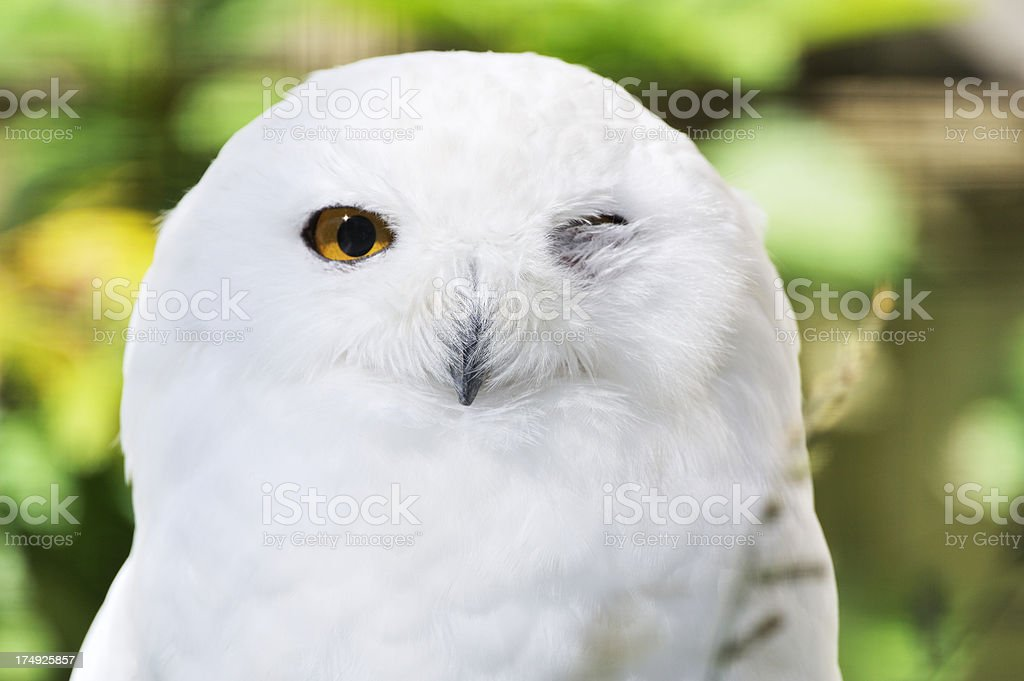 Winking snowy owl stock photo