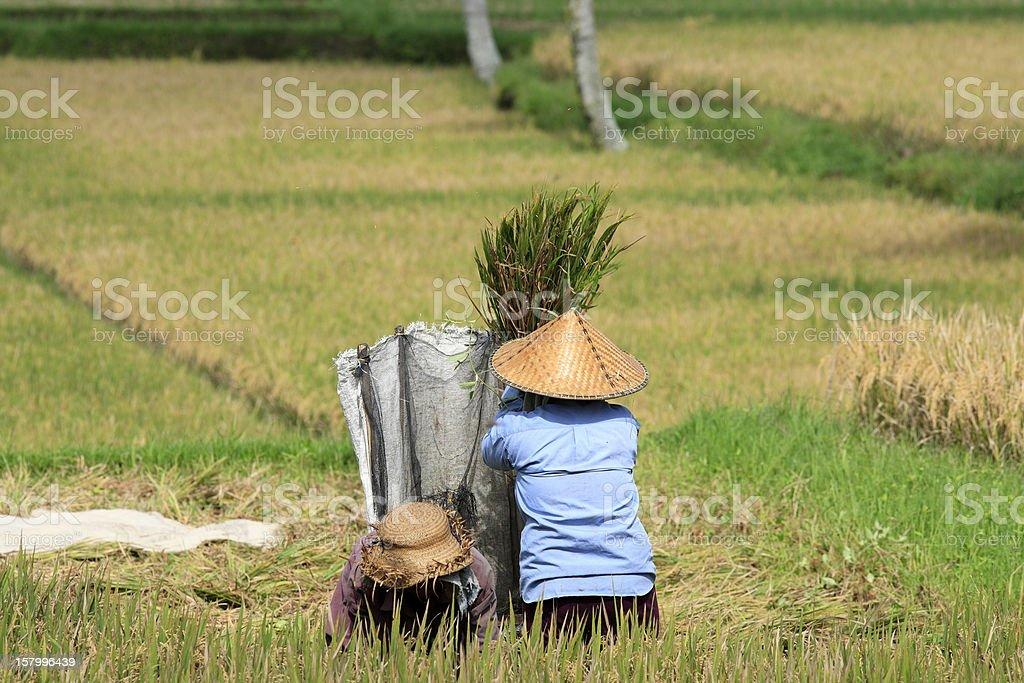 Winnowing Rice, Bali royalty-free stock photo