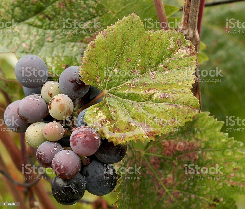 Wino royalty-free stock photo