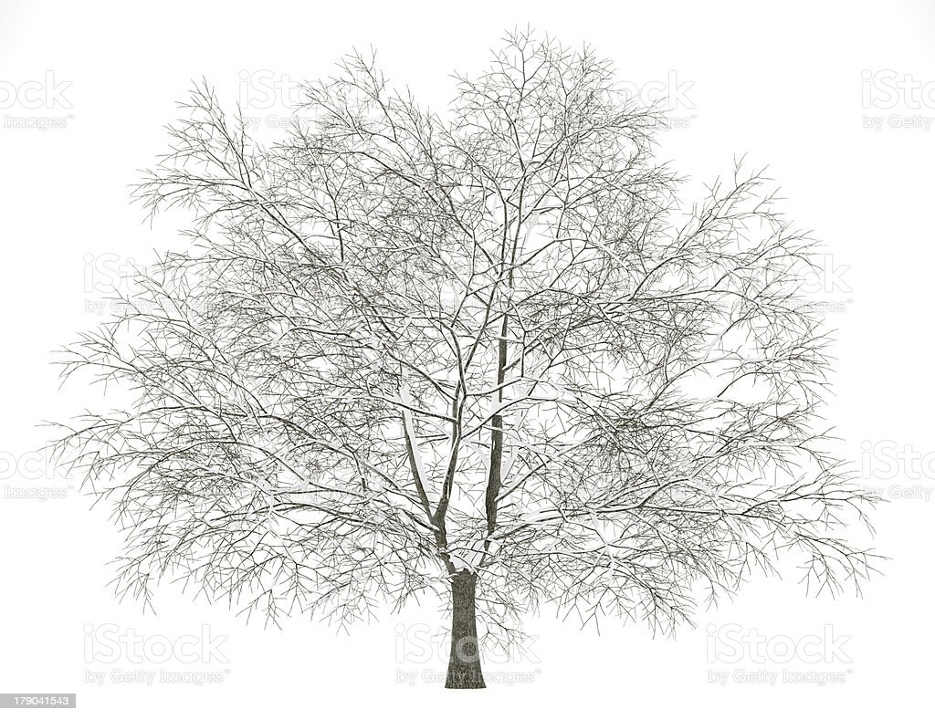 winter american beech tree isolated on white background stock photo