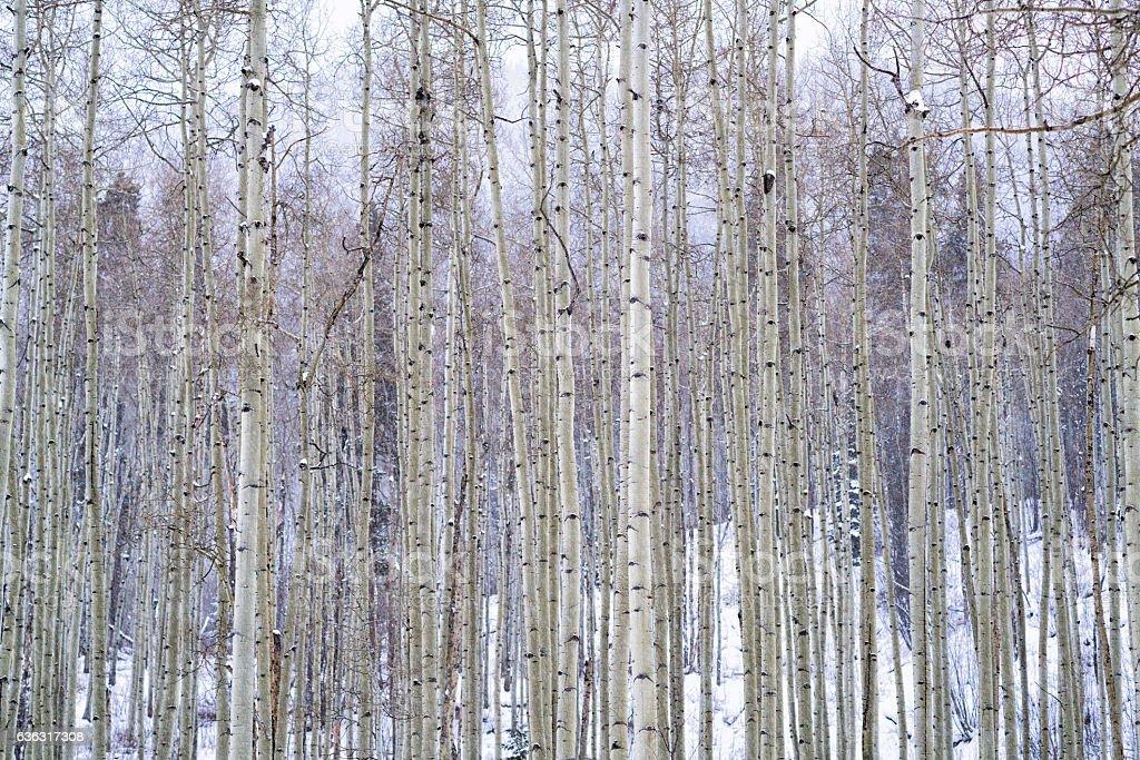 Winter Aspen Trees with Fresh Snow stock photo