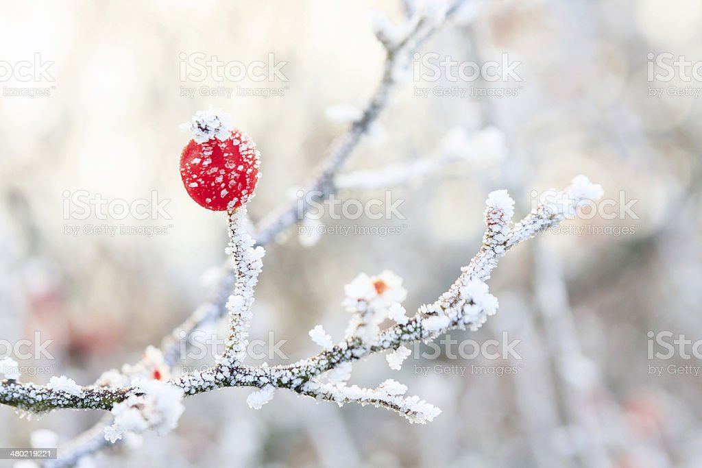 Winter background, red berries on the frozen branches covered wi stock photo