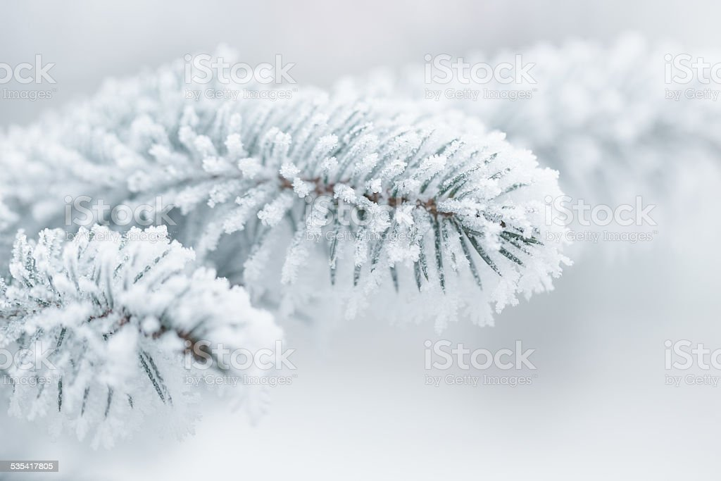 winter background with frosty fir branches stock photo