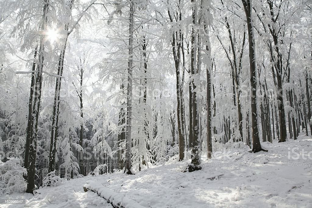 Winter beech forest royalty-free stock photo