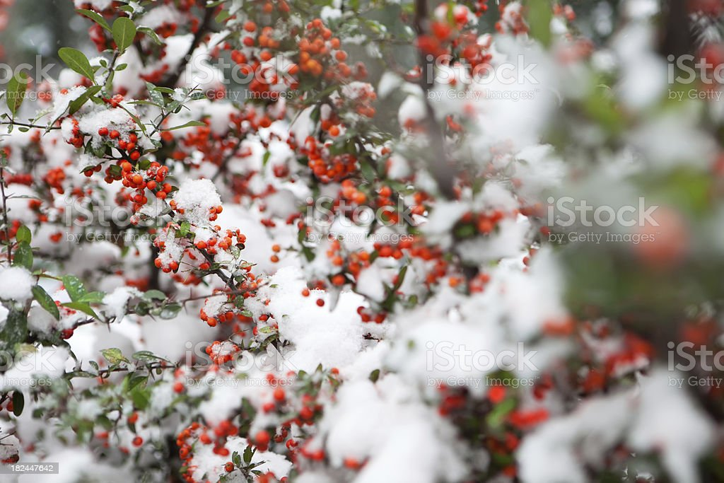 Winter Berries royalty-free stock photo