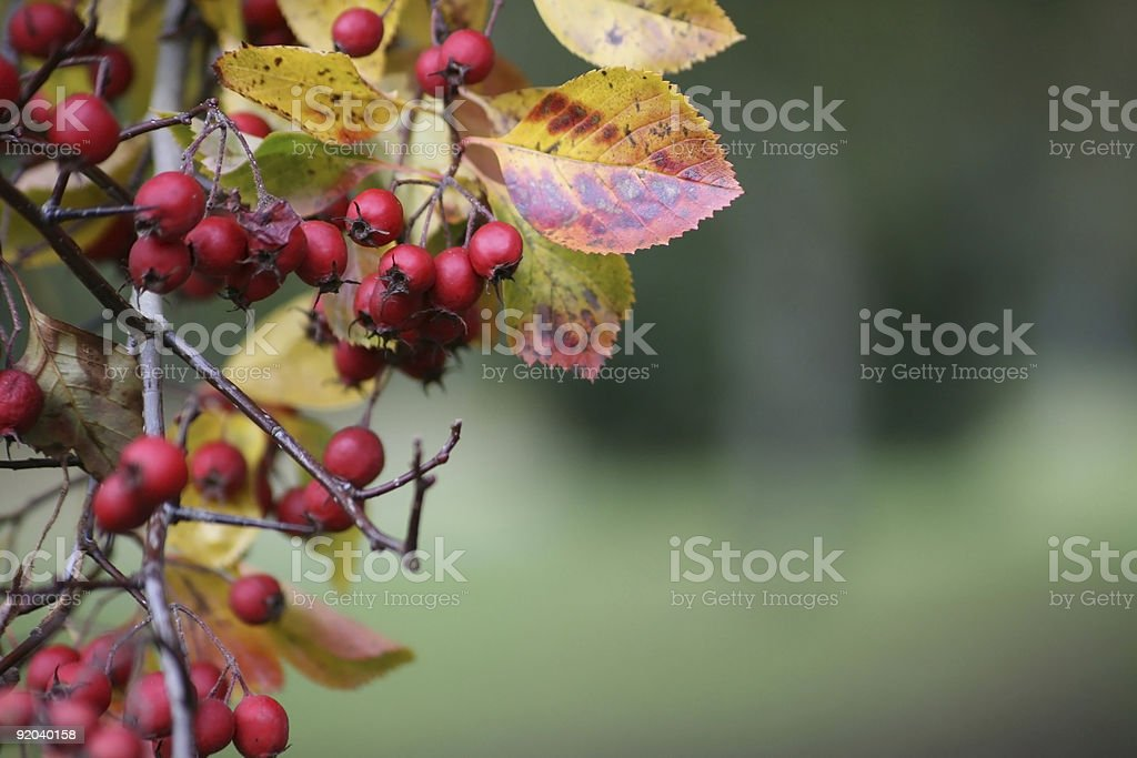 Winter Berries royalty-free stock photo