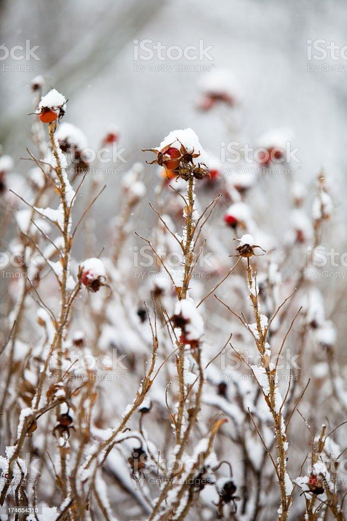 winter berryes of Wild Rose stock photo