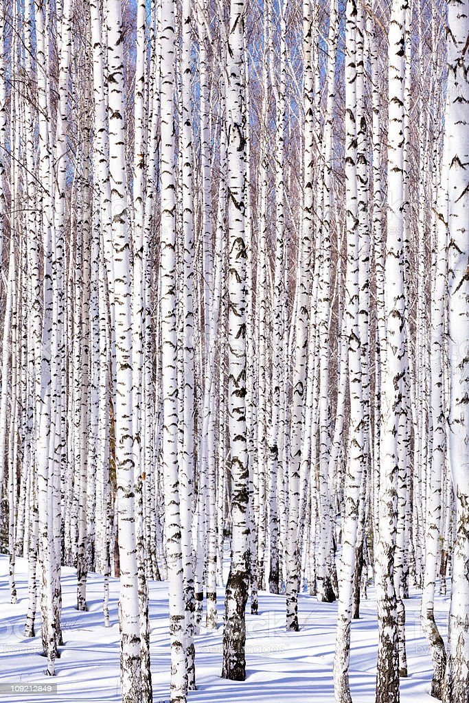 Winter birch forest, february royalty-free stock photo