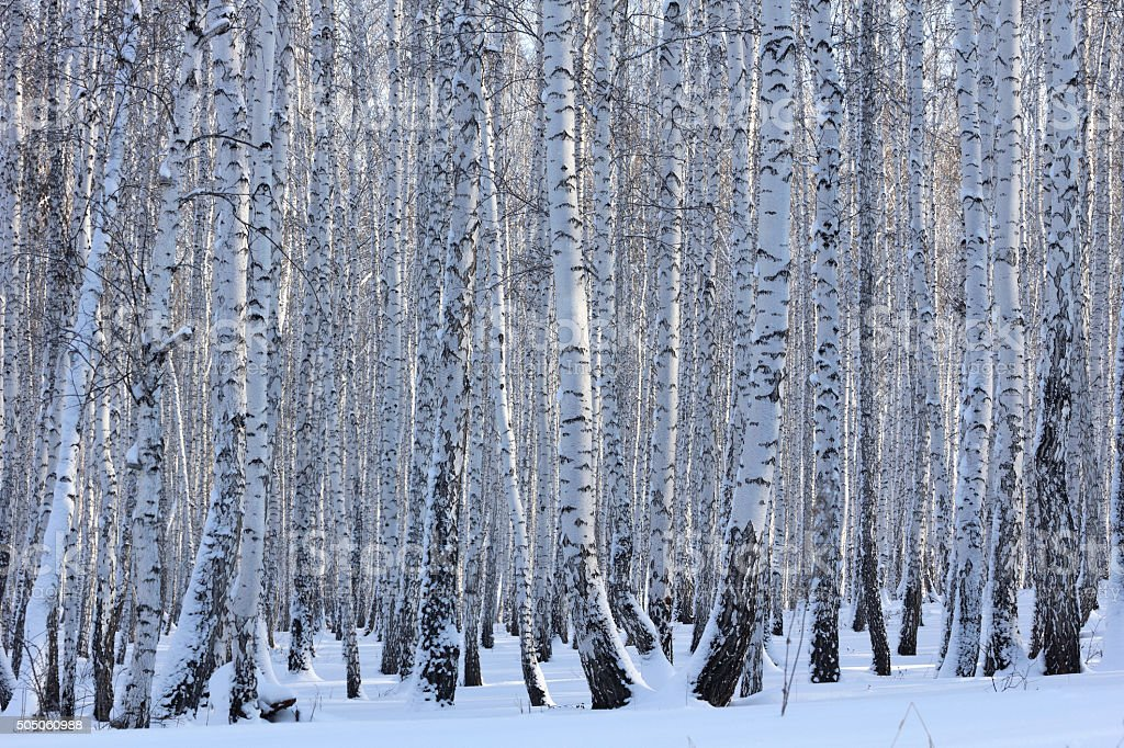 Winter birch forest on a sunny day stock photo