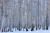 Winter birch forest on a sunny day