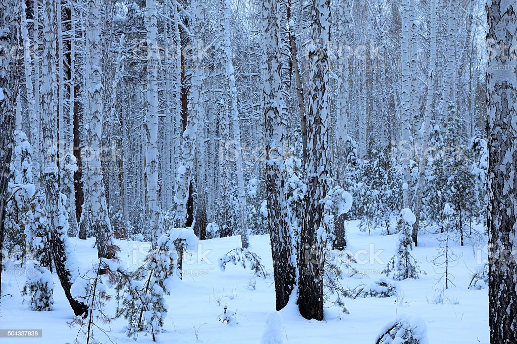 Winter birch forest stock photo