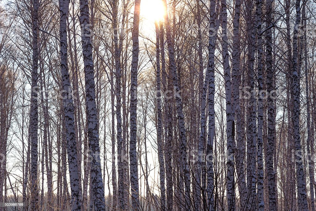 Winter birch forest with bright sunlight stock photo