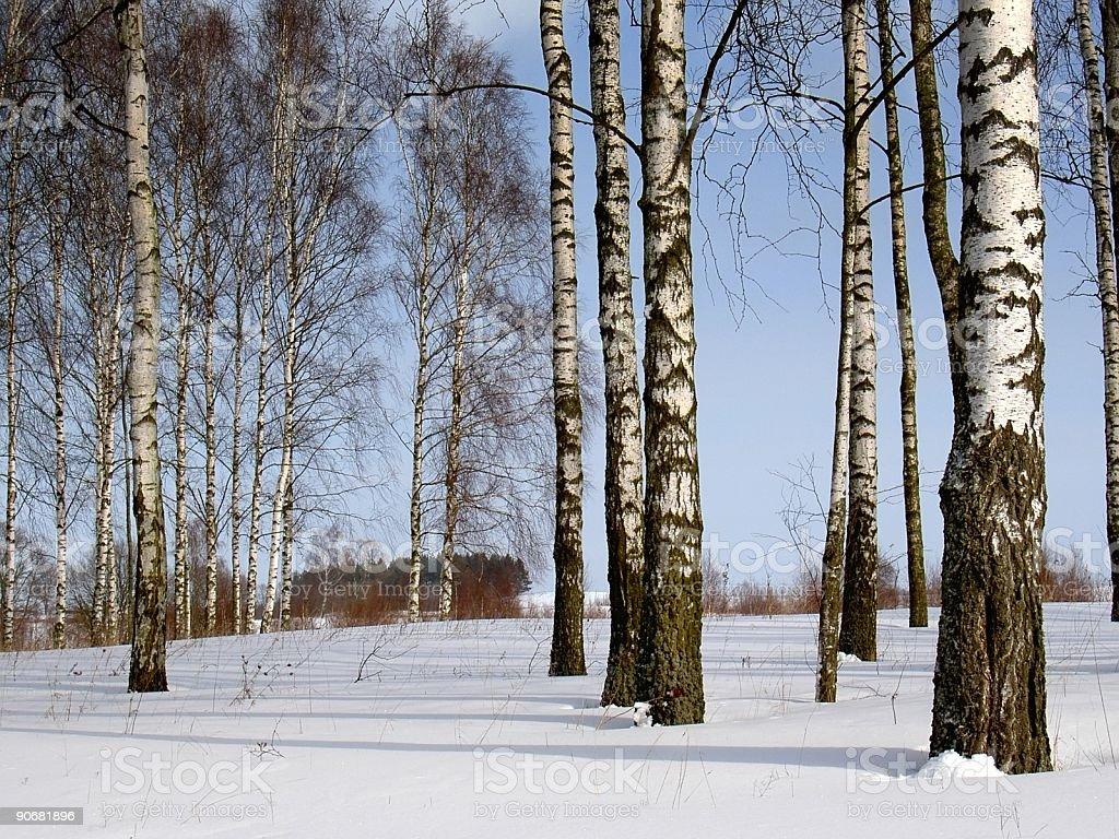 winter birches royalty-free stock photo