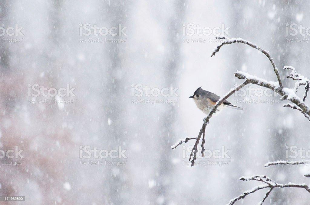 Winter bird in snowfall royalty-free stock photo