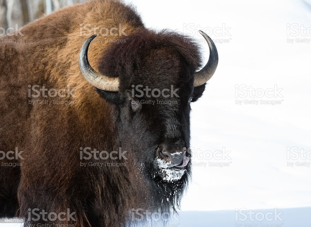 Winter Bison royalty-free stock photo
