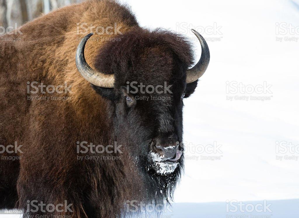 Winter Bison stock photo