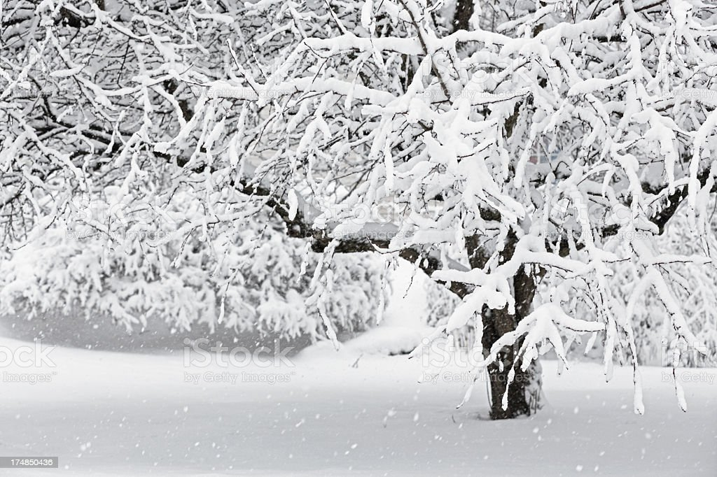 Winter Blizzard Crabapple Tree stock photo