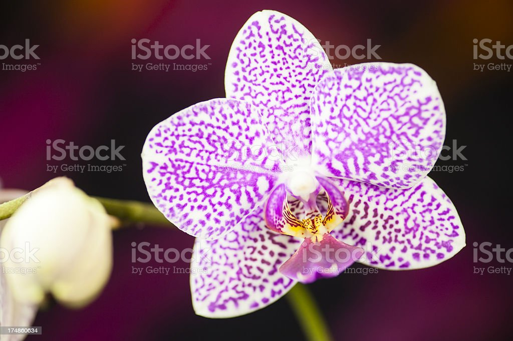 Winter Blooming Orchid royalty-free stock photo