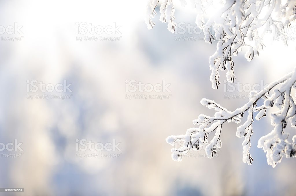 Winter branch covered with snow stock photo