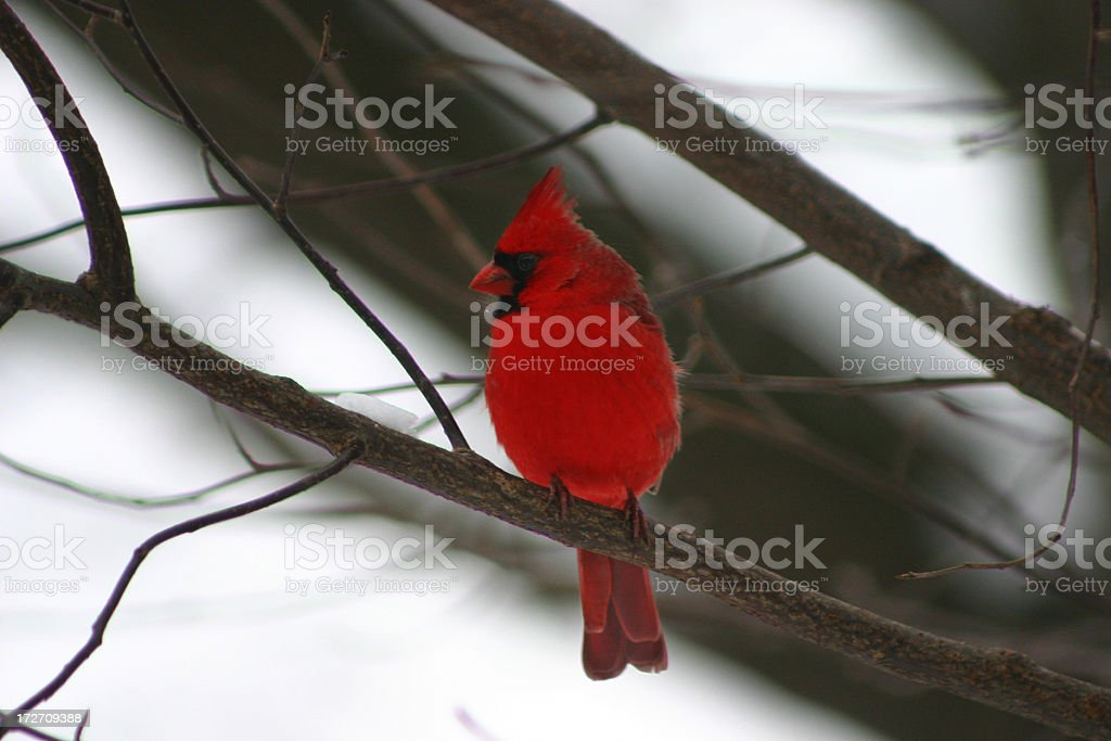 Winter Cardinal royalty-free stock photo