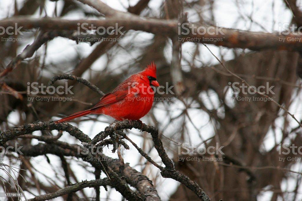 Winter Cardinal stock photo