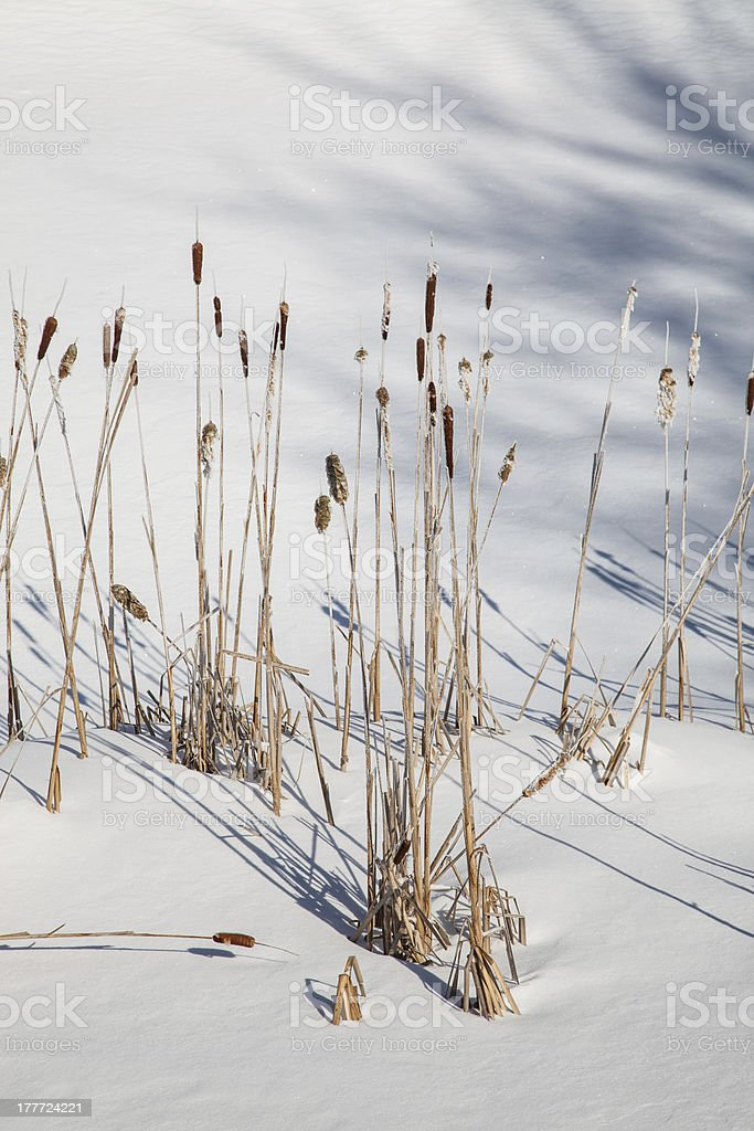 Winter Cattails royalty-free stock photo