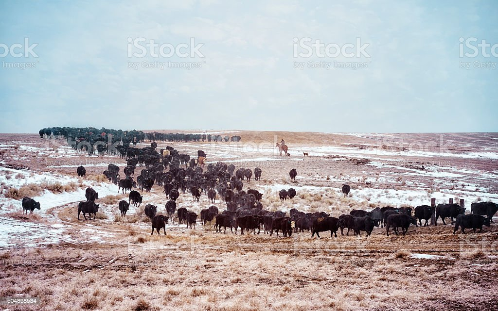 Winter Cattle Drive stock photo
