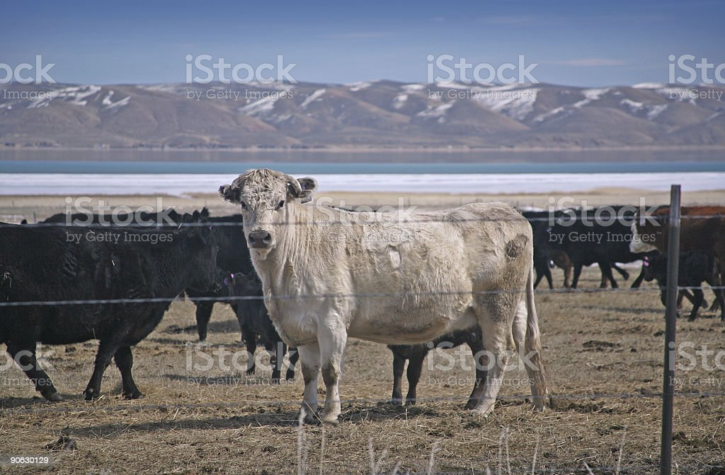 winter cattle stock photo
