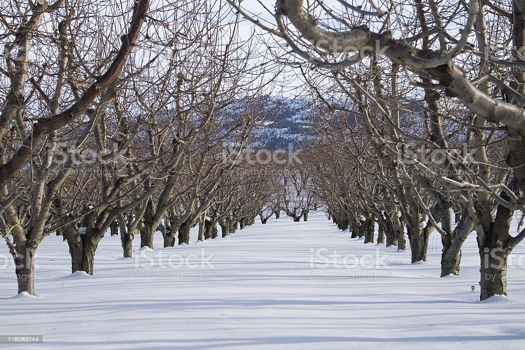 Winter Cherry Orchard royalty-free stock photo