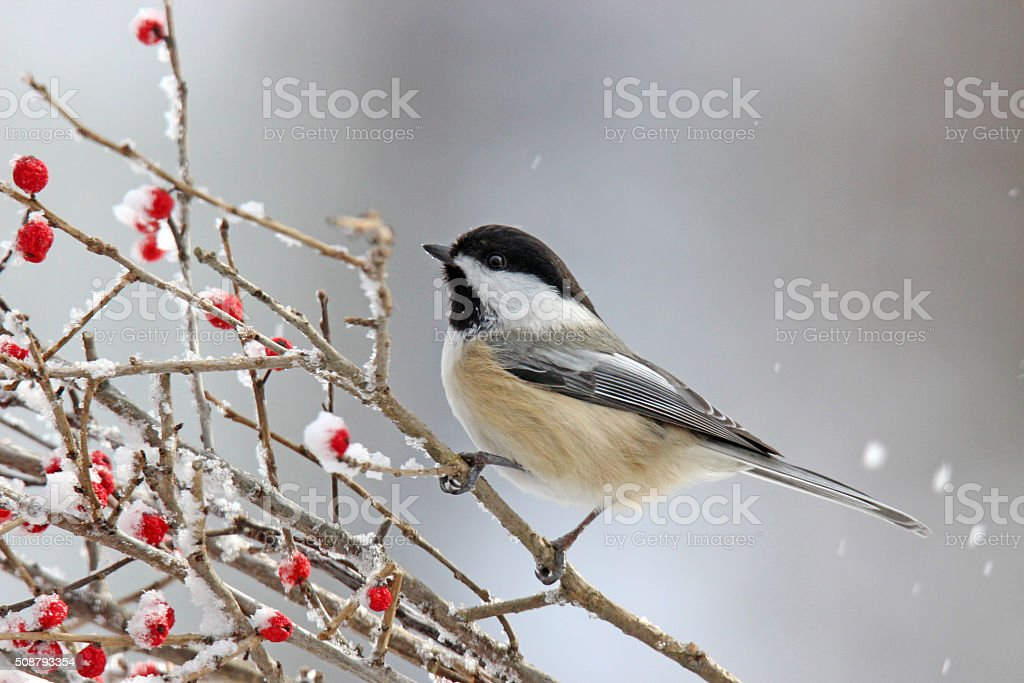 Winter Chickadee on Berries stock photo
