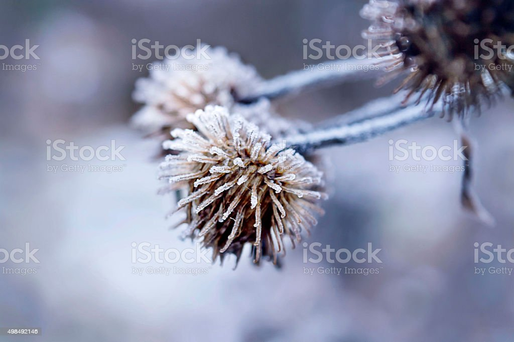 Winter Christmas pine cones in the frost, selective focus stock photo