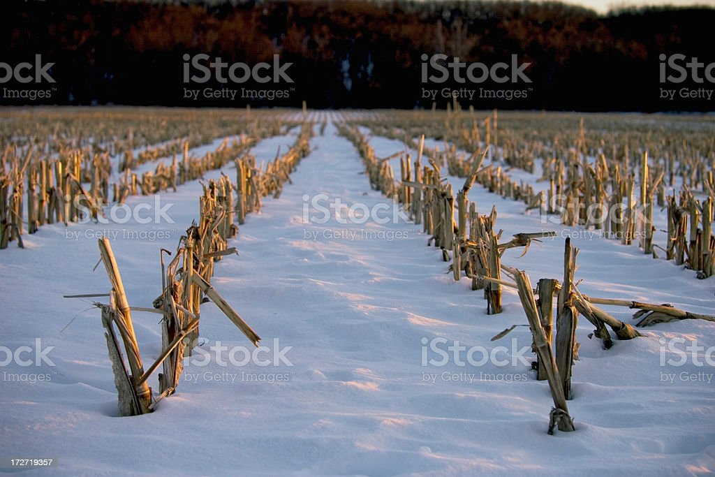 Winter Corn Field royalty-free stock photo
