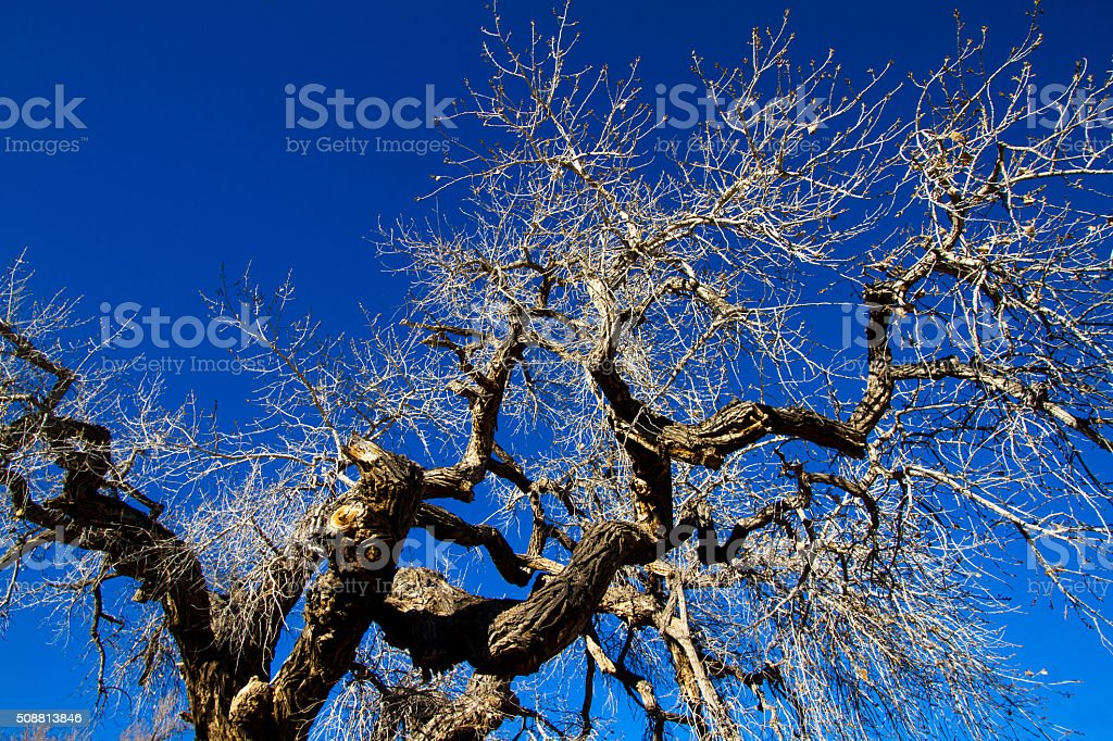 Winter Cottonwood Tree Backdropped by Blue Sky stock photo