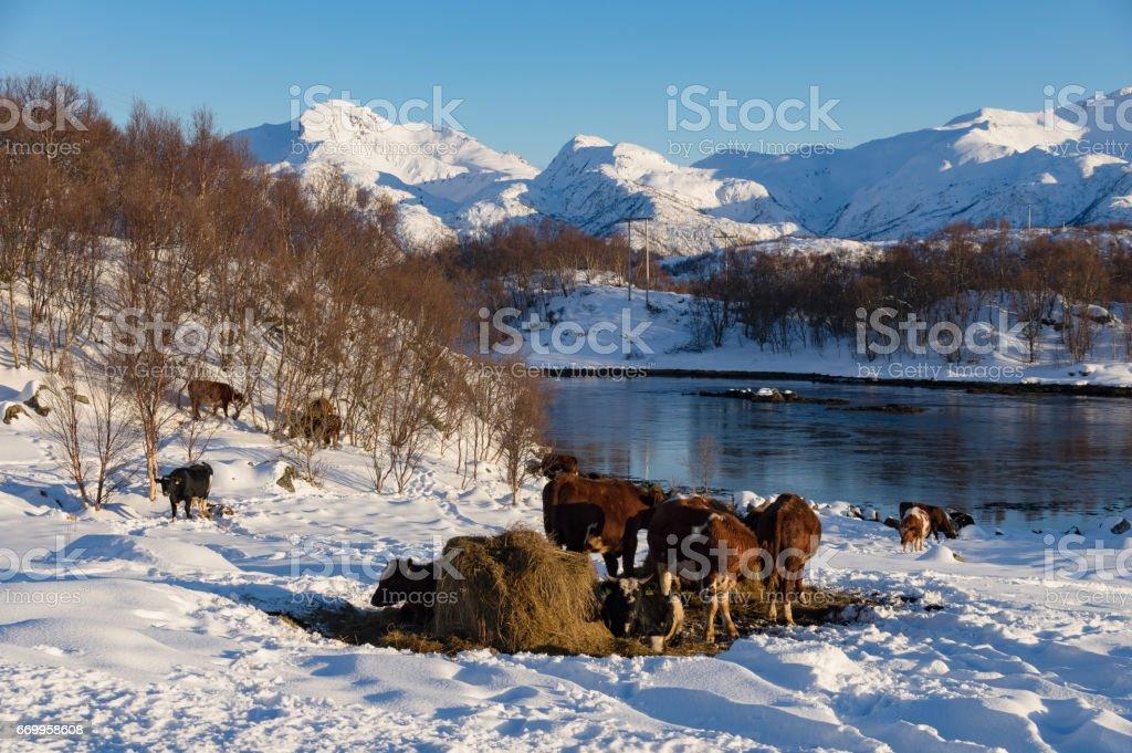 Winter Cows stock photo