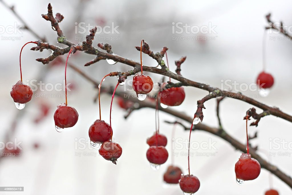 Winter Crabapple Tree Branch Covered in Ice stock photo