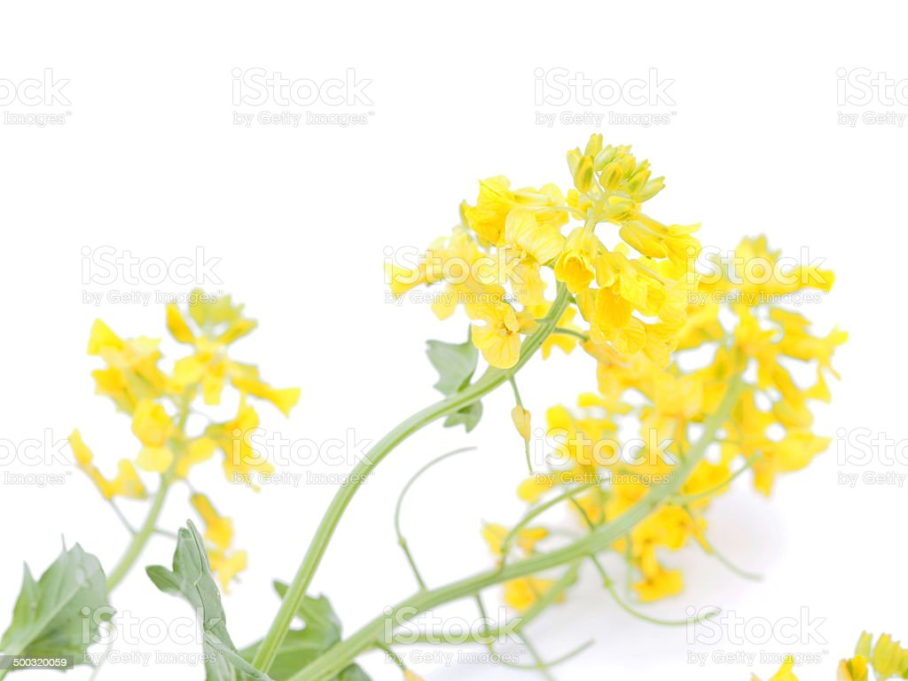 winter cress on white background stock photo