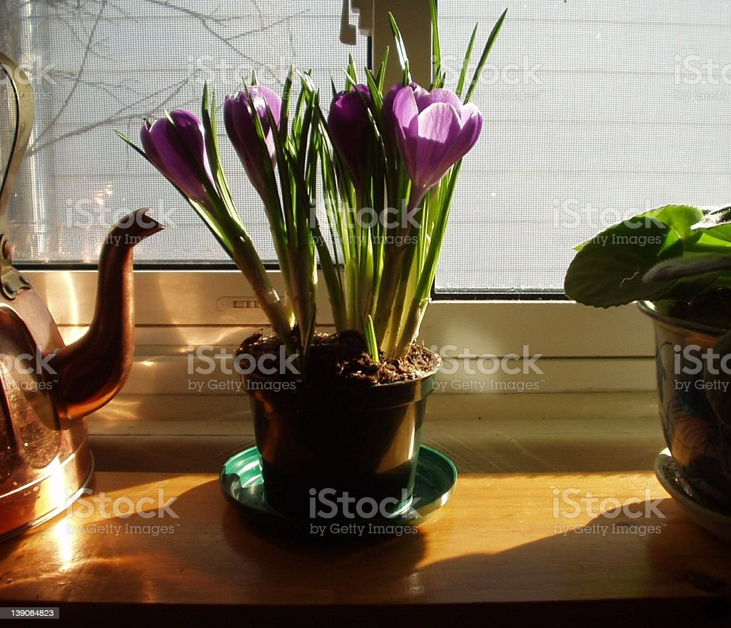 Winter Crocus on the Window Sill at Dawn royalty-free stock photo