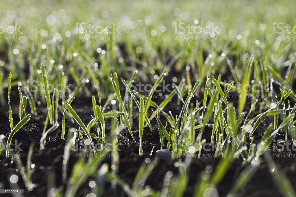 Winter crop royalty-free stock photo